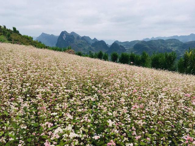 Điểm ngắm hoa tam giác mạch ở Hà Giang nhất định phải khám phá tháng 10 này | Báo Dân trí